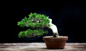 How to enjoy bonsai